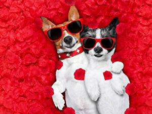 Bilder Hunde Jack Russell Terrier Zwei Blütenblätter Brille Lustige Tiere
