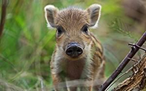 Fotos Wildschwein Jungtiere Schnauze