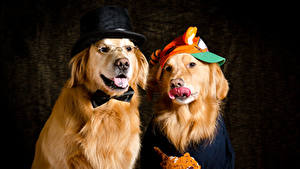 Bilder Hunde Golden Retriever Zwei Der Hut