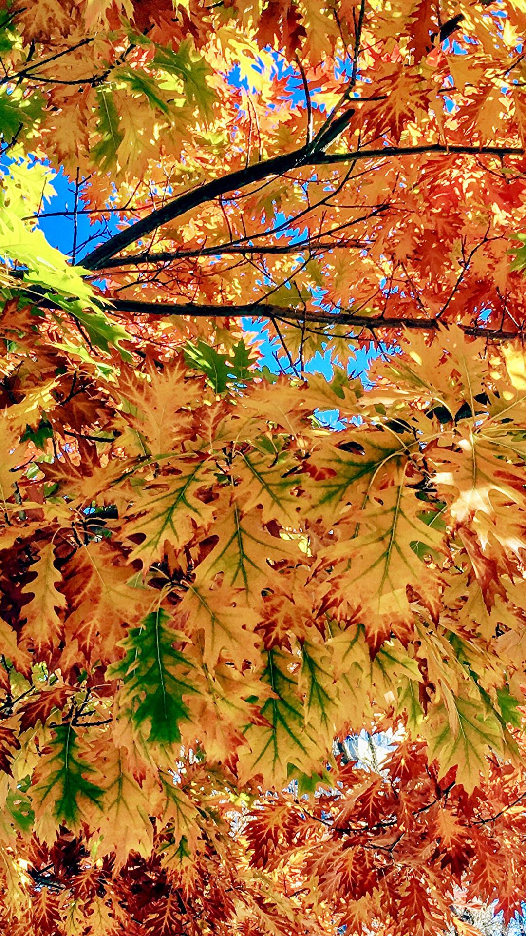 Fotos Blatt Natur Herbst Ast hautnah 1080x1920 für Handy Blattwerk Nahaufnahme Großansicht