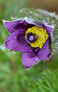 Fotos Großansicht Kuhschellen Blumen