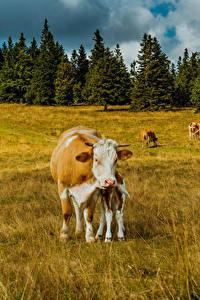 Bilder Deutschland Grünland Kühe Cologne ein Tier Natur