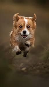 Fondos de Pantalla Perro Salto Correr Welsh Corgi Animalia