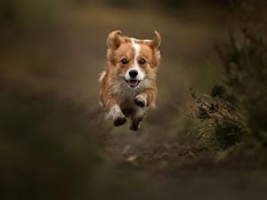 Hintergrundbilder Hunde Sprung Laufsport Welsh Corgi Tiere