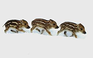 Bilder Wildschwein Jungtiere Drei 3 Schnee