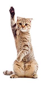 Hintergrundbilder Katze Weißer hintergrund Starren Pfote Tiere