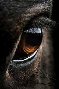 Fotos Großansicht Augen Hauspferd