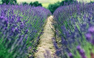 Bilder Lavendel Felder Weg Blumen