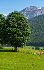 Fotos Österreich Gebirge Wälder Kühe Grünland Bäume Gras Saalfelden am Steinernen Meer