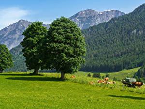 Fotos Österreich Gebirge Wälder Kühe Grünland Bäume Gras Saalfelden am Steinernen Meer Natur