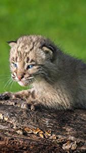 Fondos de Pantalla Grandes felinos Lynx Cachorros El tronco