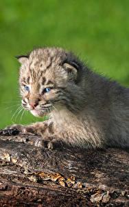 Fotos Große Katze Luchse Jungtiere Baumstamm