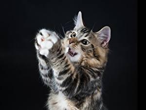 Fotos Katze Schwarzer Hintergrund Pfote Tiere