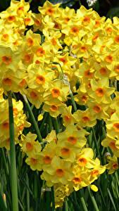 Fotos Narzissen Viel Großansicht Gelb Blüte