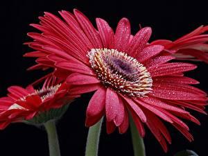 Fotos Gerbera Großansicht Schwarzer Hintergrund Tropfen Blumen