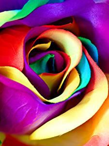 Hintergrundbilder Rosen Nahaufnahme Makrofotografie Mehrfarbige Blüte
