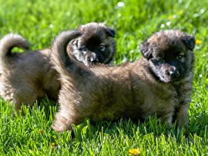 Hintergrundbilder Hunde Gras Welpen 2 Shepherd Caucasian
