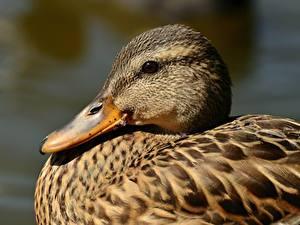 Fotos Entenvögel Großansicht Kopf Schnabel Tiere