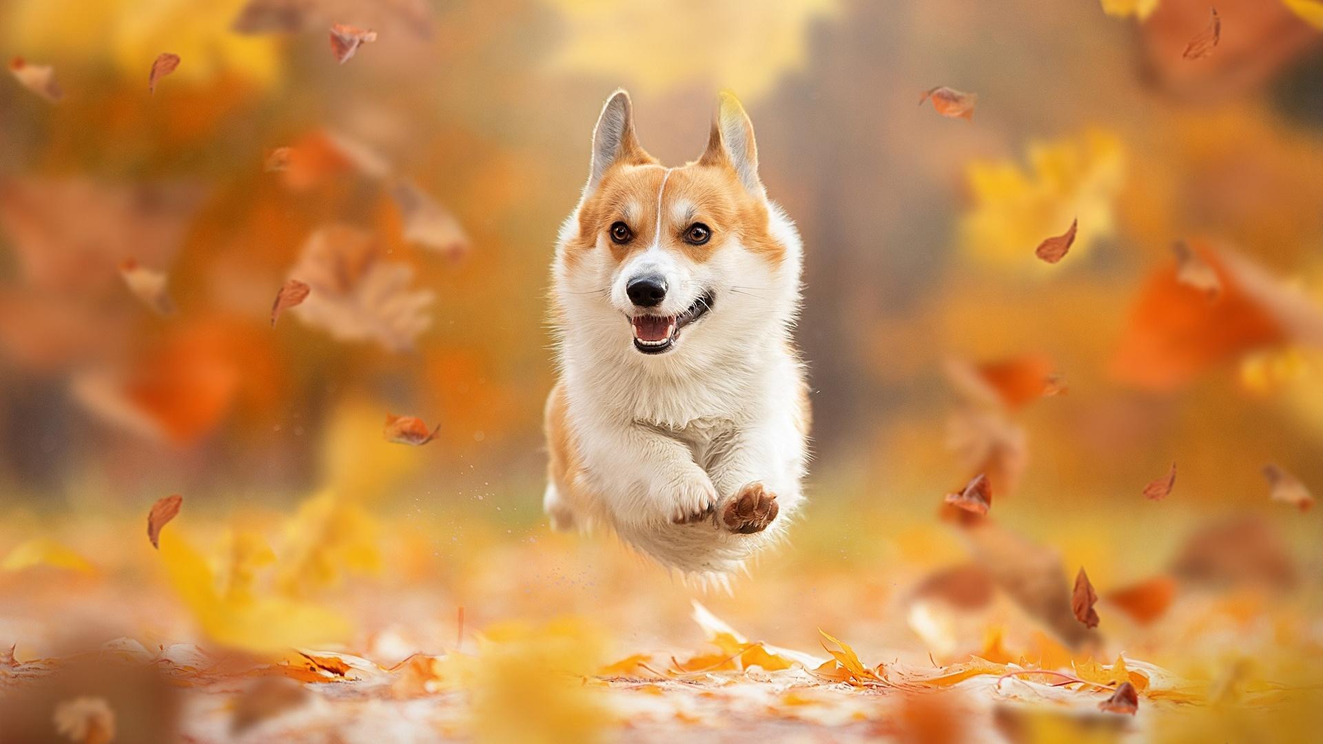 壁紙 19x1080 秋 イヌ 木の葉 ランニング ウェルシュ コーギー ボケ写真 動物 ダウンロード 写真
