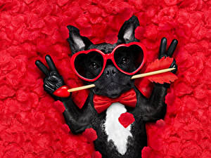 Bilder Valentinstag Hund Finger Roter Hintergrund Bulldogge Brille Herz Querbinder Lustiges Tiere