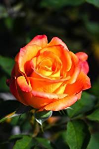 Fotos Rosen Großansicht Blüte