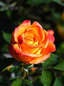 Fotos Rosen Großansicht Blumen