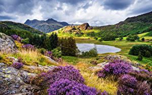 Bilder Vereinigtes Königreich Berg See Lavendel Hügel Fichten Cumbria Natur