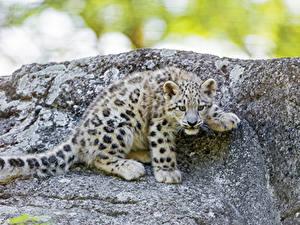 Fotos Große Katze Leopard Jungtiere Tiere