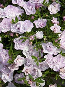 Fotos Calibrachoa Viel Großansicht Blumen