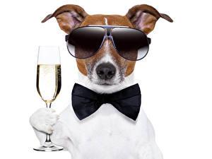 Hintergrundbilder Hund Champagner Weißer hintergrund Jack Russell Terrier Brille Weinglas Querbinder Tiere