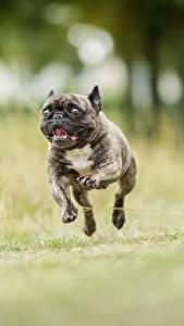 Papéis de parede Cão Corrida Salto Preto Buldogue Animalia