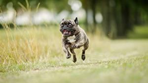 Fotos Hunde Laufsport Sprung Schwarz Bulldogge Tiere