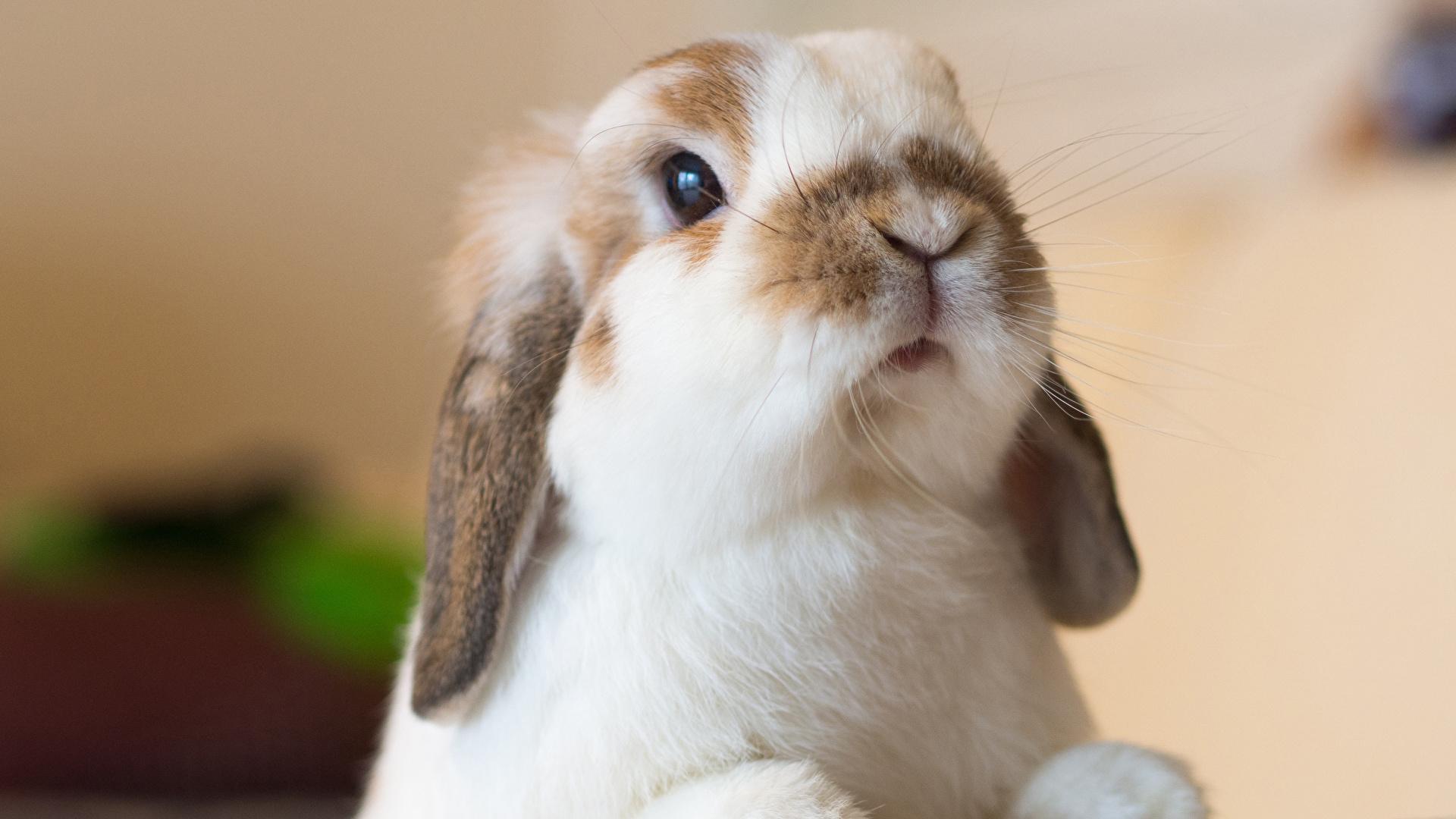 壁紙 1920x1080 ウサギ クローズアップ 動物のスナウト 動物