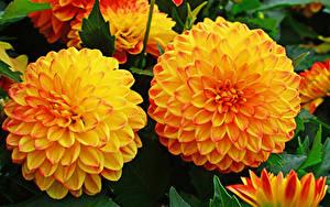 Bilder Georginen Nahaufnahme Zwei Orange Blüte