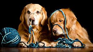 Hintergrundbilder Hunde Golden Retriever Schwarzer Hintergrund 2 Retriever Brille