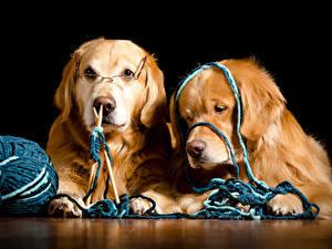 Hintergrundbilder Hunde Golden Retriever Schwarzer Hintergrund 2 Retriever Brille Tiere