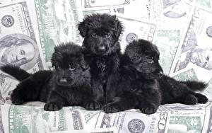 Fotos Hunde Welpe Drei 3 Shepherd Schwarz