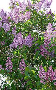 Fotos Flieder Ast Blatt Blumen