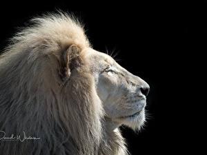 Hintergrundbilder Löwe Weiß Kopf Schwarzer Hintergrund Tiere
