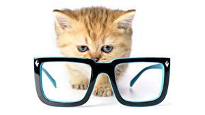 Fotos Hauskatze Weißer hintergrund Kätzchen Brille