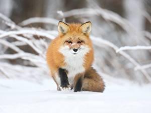 Bilder Winter Füchse Unscharfer Hintergrund Schnee Rotschopf Starren ein Tier