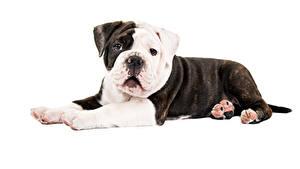 Bilder Hund Weißer hintergrund Bulldogge Tiere