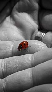 Wallpaper Fingers Closeup Lady beetle Animals