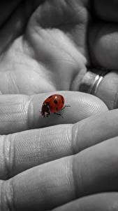 Bilder Finger Großansicht Marienkäfer Tiere