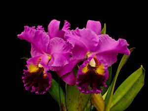 Bilder Orchideen Großansicht Schwarzer Hintergrund Rosa Farbe Blumen