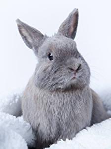 桌面壁纸,,兔,灰色,動物