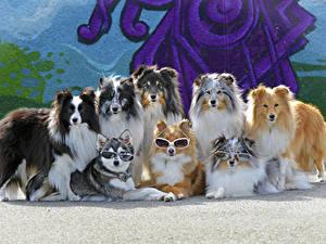 Hintergrundbilder Hunde Viel Collie Brille ein Tier