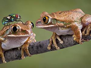 Bilder Frosche Fliegen Farbigen hintergrund 2 Ast Tiere