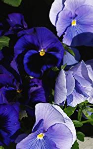 Fotos Ackerveilchen Großansicht Blumen
