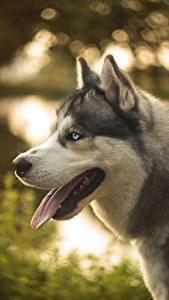 Image Dog Husky Tongue animal